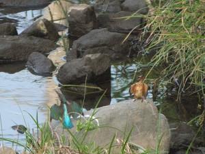 2013-08-17_0623_P1050353_カワセミ 幼鳥