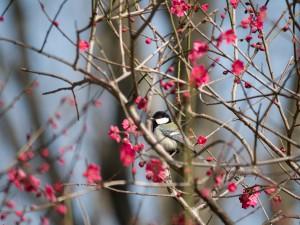 2014-03-08_1345_P1140897_昭和記念公園_梅_シジュウカラ